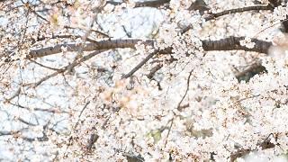 桜の季節 京都前撮り TANAN丹庵